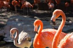 Drei rosa Flamingos, die in Folge stehen Lizenzfreie Stockfotos