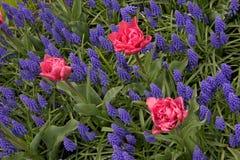 Drei rosa Tulpen in einem Bett von purpurroten Rittersporen Stockbild