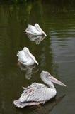 Drei rosa unterstützte Pelikane, die auf einem See schwimmen stockfotos