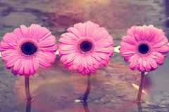 Drei rosafarbene Blumen Lizenzfreies Stockbild