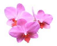 Drei rosafarbene Orchideeblumen Lizenzfreie Stockbilder