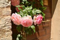 Drei Rosen zu Hause Stockfotografie