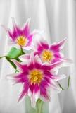 Drei rot und weiße Tulpen Stockfotos