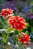 Drei rote Dahlien im Garten Stockfoto