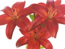 Drei rote Lilien auf Weiß Lizenzfreie Stockbilder