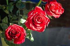 Drei rote Rosen in voller Blüte Stockfotografie