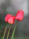 Drei rote Tulpen Lizenzfreie Stockbilder