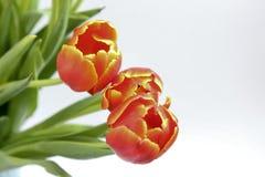 Drei rote Tulpen Lizenzfreie Stockfotografie