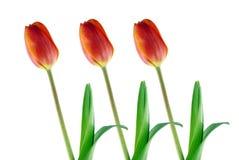 Drei rote Tulpen getrennt auf Weiß Stockbild