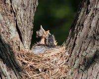 Drei Rotkehlchen in einem Nest Lizenzfreie Stockfotos