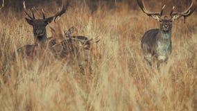 Drei Rotwild, die in Natur gehen stock footage