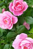 Drei süß, rosa, hübsche Rosen stockfotos