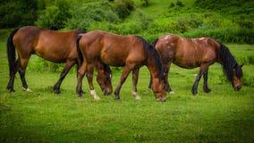 Drei schöne braune Pferde, die symmetrisch auf einer grünen Wiese weiden lassen stockbild