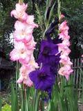 Drei schöne Gladiolen Lizenzfreies Stockfoto