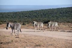 Drei schöne Zebras auf einer Straße in Addo Elephant Park in Colchester, Südafrika Lizenzfreies Stockbild