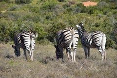 Drei schöne Zebras auf einer Wiese in Addo Elephant Park in Colchester, Südafrika Stockbild