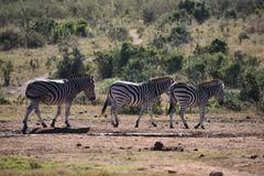 Drei schöne Zebras auf einer Wiese in Addo Elephant Park in Colchester, Südafrika Lizenzfreie Stockbilder