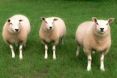 Drei Schafe Stockfotografie