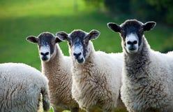 Drei Schafe in einer Zeile mit Fokus auf mittleren Schafen stockbild