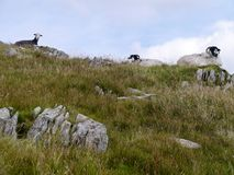 Drei Schafe oben gesessen auf kleinem Hügel Stockfoto