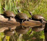 Drei Schildkröten auf einem Protokoll stockbilder