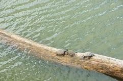 Drei Schildkröten, die auf einem gefallenen Baum in einem kleinen Sumpfgebiet in Thailand sich sonnen Stockfoto