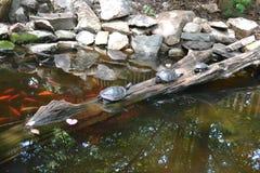 Drei Schildkröten, die auf einem Klotz sich aalen Lizenzfreie Stockfotos