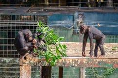 Drei Schimpansen auf Dach Blätter vom Baumast, Sierra Leone, Afrika essend Stockfotografie