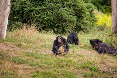Drei Schimpansen auf der grünen Wiese Lizenzfreie Stockfotografie