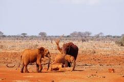 Drei Schlamm-gekleidete Elefanten am waterhole von Tsavo Ost-Kenia Lizenzfreie Stockfotos