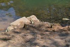 Drei Schmetterlinge auf dem Roanoke-Fluss Stockfotos