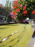 Drei Schwäne in Folge auf einem Kanal bedeckt in der Entengrütze in Delft, Th stockbilder