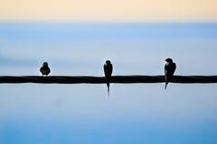 Drei Schwalben, die auf einer Stromleitung sitzen Lizenzfreie Stockfotografie