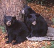 Drei schwarze Bärenjunge stecken zusammen zur Sicherheit die Köpfe zusammen Lizenzfreies Stockbild