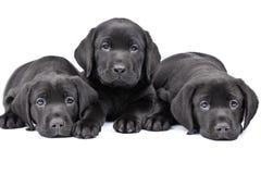 Drei schwarze Laborwelpen Stockfotos