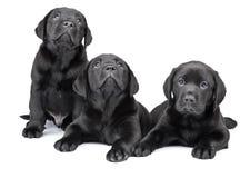 Drei schwarze Labrador-Welpen Stockfoto