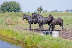 Drei schwarze Pferde in einer holländischen Wiese Stockbild
