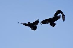 Drei schwarze Raben, die in einen blauen Himmel fliegen Lizenzfreie Stockbilder