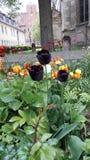 Drei schwarze Tulpen Stockfoto