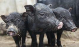 Drei Schweine Stockbild
