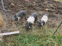 Drei Schweine im Schlamm Stockfotos