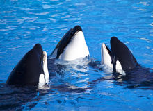 Drei Schwertwal-Mörder-Wale Lizenzfreie Stockbilder