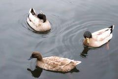 Drei schwimmende Enten Stockfotos