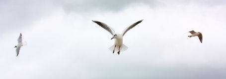 Drei seaguls im Flug lizenzfreie stockfotos