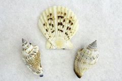 Drei Seashells Lizenzfreie Stockfotos