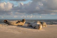 Drei Seehunde, Phoca vitulina, stehend auf dem Strand still Früher Morgen bei Grenen, Dänemark lizenzfreies stockfoto