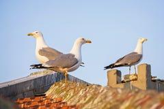 Drei Seemöwen auf der Stadtdachnahaufnahme stockfotos