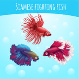 Drei siamesische kämpfende Fische auf einem blauen Hintergrund lizenzfreie abbildung