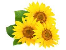 Drei Sonnenblumen mit den Blättern lokalisiert auf weißem Hintergrund Stockbild