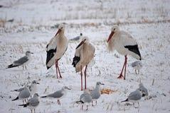 Drei Störche im Schnee Lizenzfreie Stockfotos